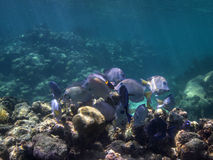 Surgeonfish Blue Royalty Free Stock Photos