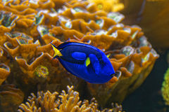 Surgeonfish. Blue surgeonfish with yellow tale in a saltwater aquarium or fish tank Stock Photos