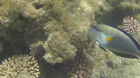 Surgeonfish close-up. Surgeonfish swims close-up at the cay (1080p 25 fps stock video