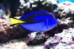Surgeonfish da paleta Foto de Stock