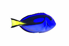 Surgeonfish da paleta Imagens de Stock Royalty Free