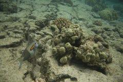 surgeonfish de corail de récif d'orangespot Photos stock