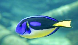 Surgeonfish de la gama de colores Fotografía de archivo
