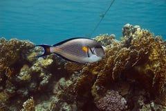 Surgeonfish de Sohal Fotos de archivo libres de regalías