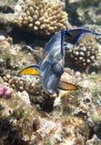 Surgeonfish de Sohal Photos libres de droits