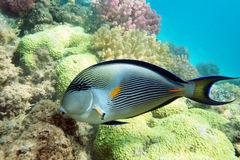Surgeonfish de Sohal Imagen de archivo