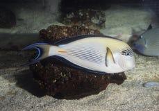 Surgeonfish de Sohal Fotografía de archivo