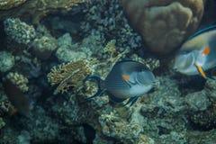 Surgeonfish de Sohal Imagens de Stock