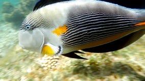 Surgeonfish de Sohal en el filón coralino almacen de video