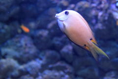 Surgeonfish de Twospot Fotos de archivo libres de regalías