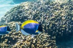 Surgeonfish dei blu polvere Immagine Stock Libera da Diritti
