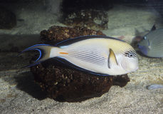 Surgeonfish di Sohal Fotografia Stock