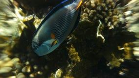Surgeonfish di Sohal con Coral Reef archivi video