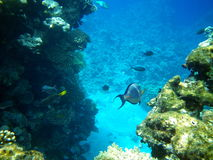 Surgeonfish dos corais e do Sohal no Mar Vermelho Fotografia de Stock