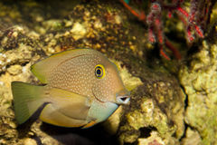 Surgeonfish eller Tang i akvarium Royaltyfri Fotografi