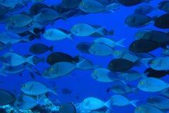 Surgeonfish Elogate Стоковые Фотографии RF