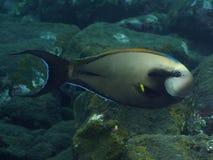Surgeonfish för korallfiskepålett Royaltyfria Foton