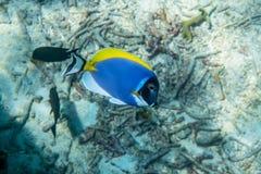 Surgeonfish för pulverblått Royaltyfri Fotografi