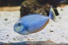 Surgeonfish för svart fläck Royaltyfri Foto