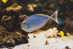 Surgeonfish för svart fläck Arkivbild