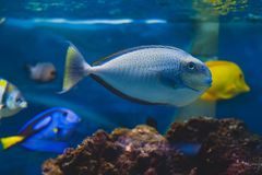Surgeonfish för svart fläck Royaltyfri Fotografi