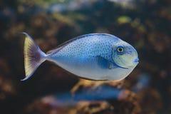 Surgeonfish för svart fläck Royaltyfria Bilder
