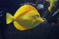 Surgeonfish jaune Photographie stock