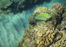 Surgeonfish jaune en récif coralien Photo sous-marine d'habitants tropicaux de bord de la mer Image libre de droits