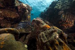 Surgeonfish and Kormoran in the Red Sea. Royalty Free Stock Image