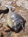Surgeonfish na brzeg Fotografia Royalty Free