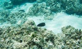 Surgeonfish- och Guling-svans ung ogift kvinna Royaltyfria Foton