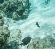 Surgeonfish- och sötcitronButterflyfish Arkivbilder