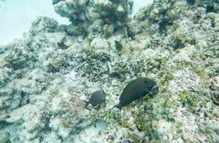 Surgeonfish oscuro alla scogliera della spiaggia di Yejele fotografia stock libera da diritti