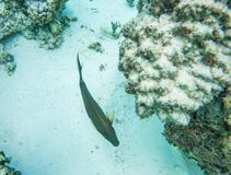 Surgeonfish oscuro: Giro subacqueo fotografia stock