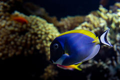 Surgeonfish Powder-blue Photo libre de droits