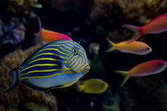 Surgeonfish rayé Photos stock