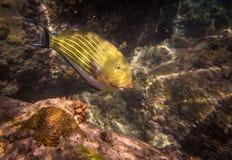 Surgeonfish rayé (lineatus d'Acanthurus) Photo libre de droits