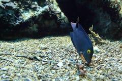 Surgeonfish repéré photo libre de droits