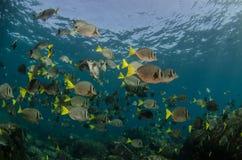 Surgeonfish. Royalty Free Stock Images