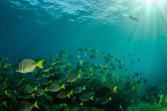 Surgeonfish. Royalty Free Stock Photography