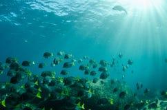 Surgeonfish. Royalty Free Stock Photo