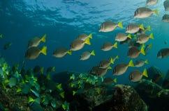 Surgeonfish. Royalty Free Stock Image