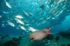 Surgeonfish. Stock Images