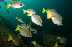 Surgeonfish. Stock Image