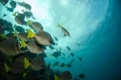 Surgeonfish. Royalty Free Stock Photo