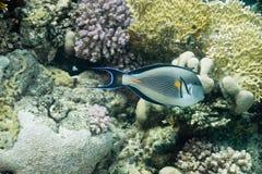 surgeonfish sohal Image libre de droits