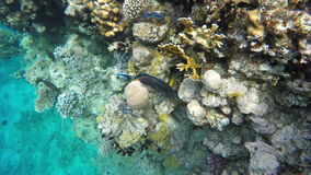 Surgeonfish swim among the coral reefs stock video footage