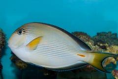 Surgeonfish Tang de Sohal en acuario Imagen de archivo libre de regalías