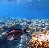 Surgeonfish tropical de Sohal no Mar Vermelho, Egipto Foto de Stock Royalty Free