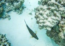 Surgeonfish von oben lizenzfreies stockfoto